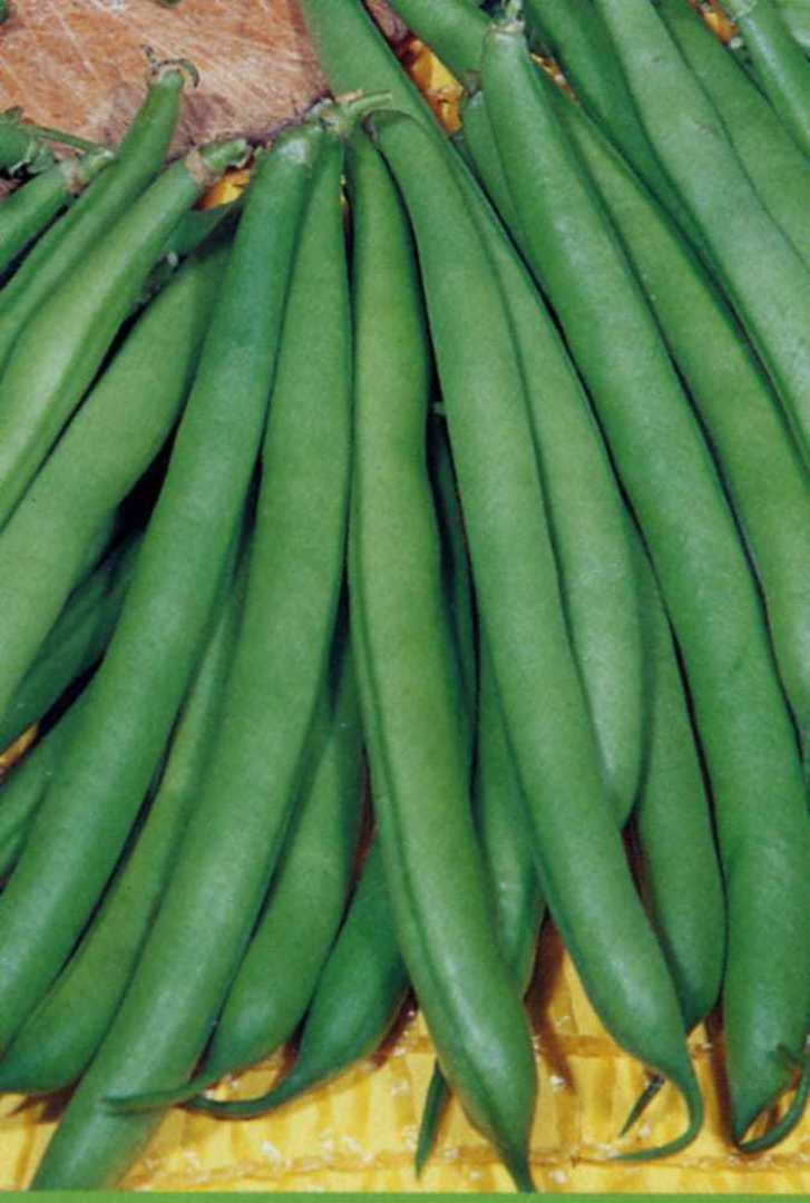 Organic Bean Faraday Dwarf - stringless dwarf green bean with an excellent flavour