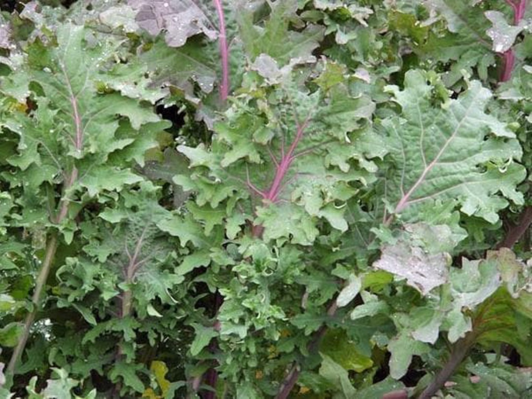Kale Ursa - rich red stems with broad green leaves