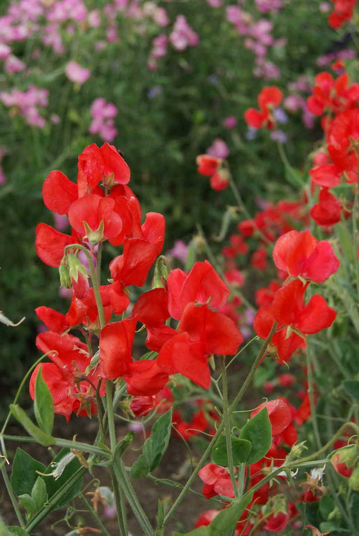 Sweet Pea Queen Alexandra - Scarlet Red Old Spice type