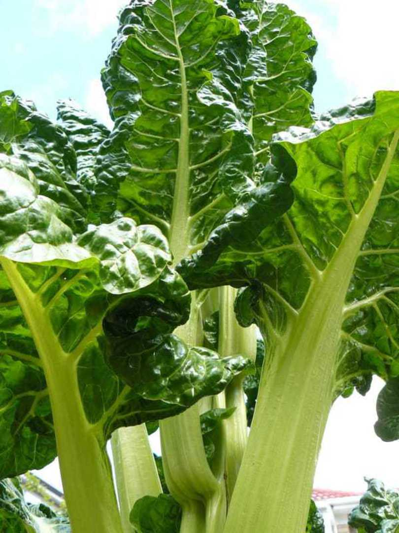 Beet Argentata silvery-white mid ribs and savoyed, deep green broad leaves