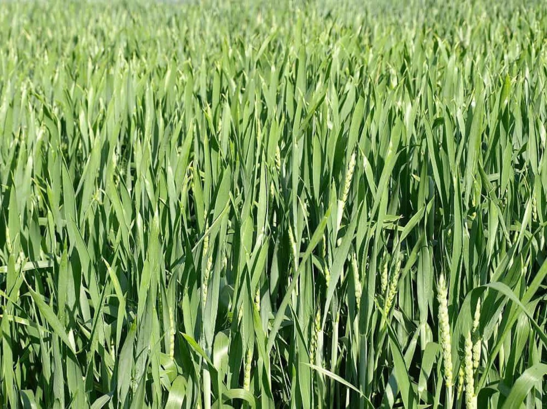 Mixed Grain Carbon Crop - Very effective spring planted cover crop
