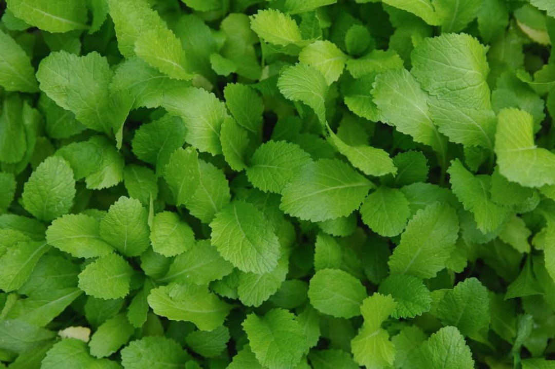 Mustard Salad White - Quick growing with a spicy and zesty flavour