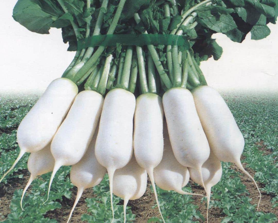 Radish Jin Mat - Pure white mini radish