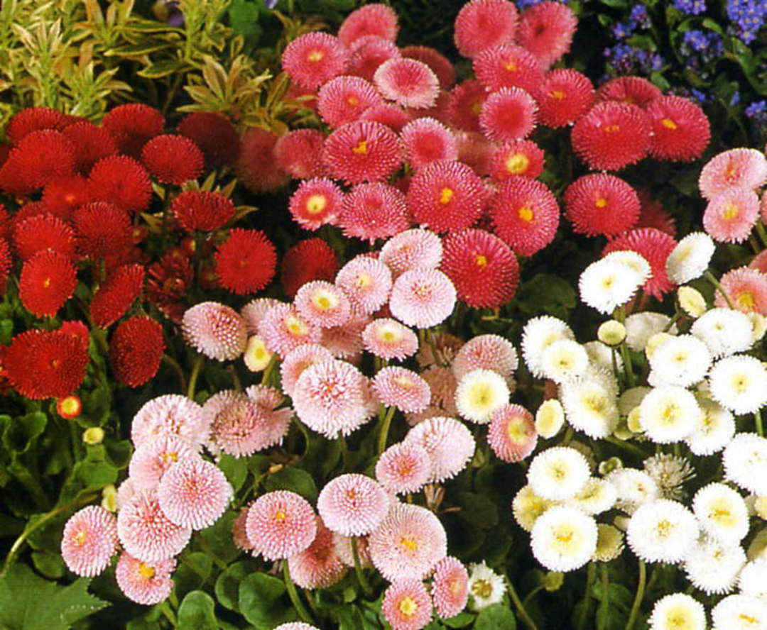Bellis Pompoms - vibrant shades of Red, Rose and White