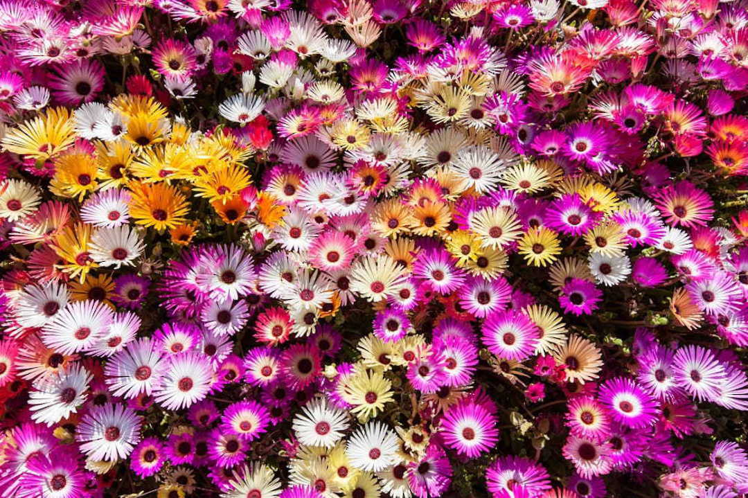 Livingstone Daisy Sparkles Mix - bright and strong colours