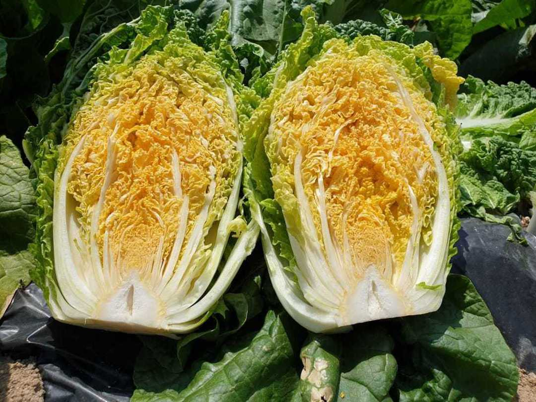 Cabbage Chinese Mini Gold F1 - cabbage with an attractive golden yellow interior