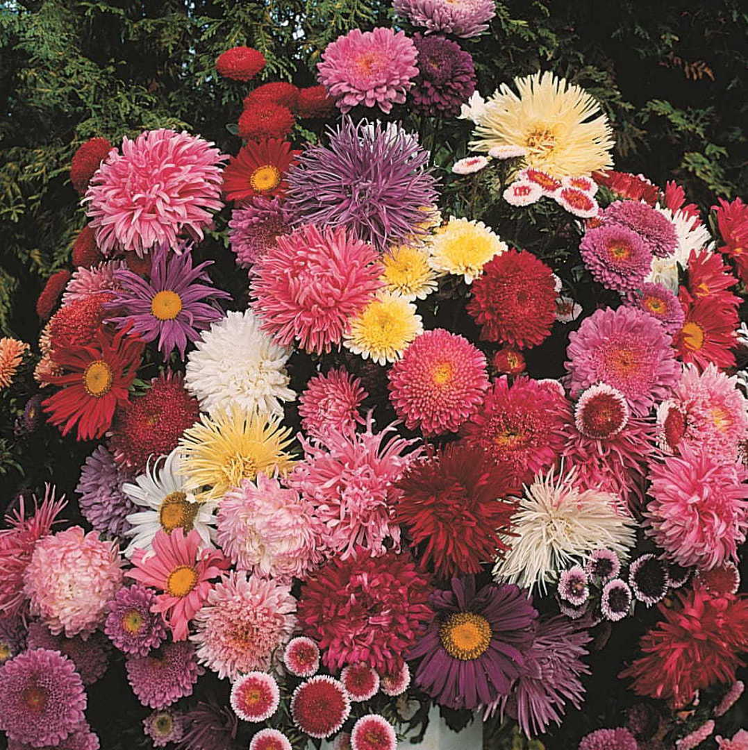 Aster Cut Flower Assortment - masses of colour in singles and doubles