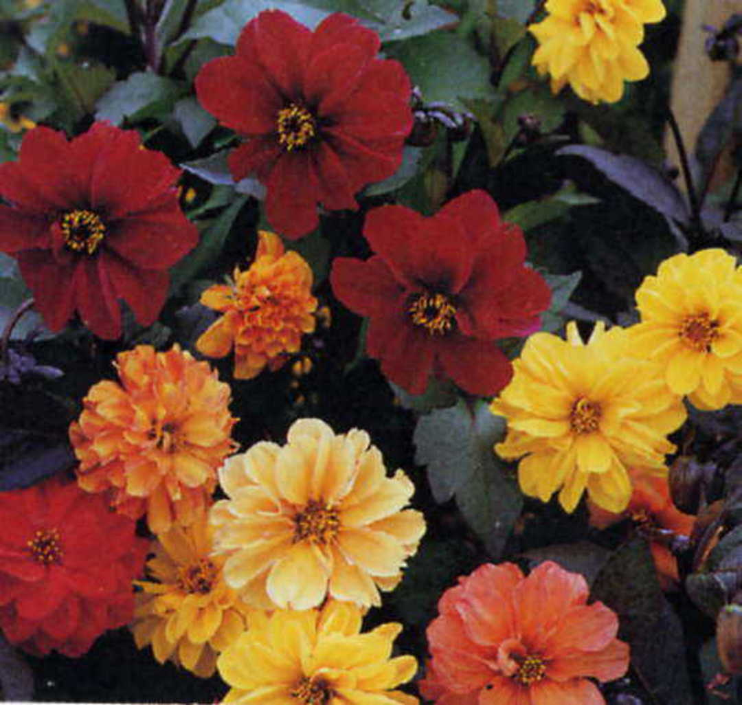 Dahlia Bloody Mary Mix - double and semi double coloured Dahlias