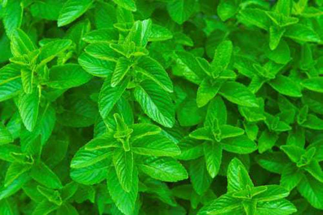 Spearmint - simple fragrant leaves are sharply serrated