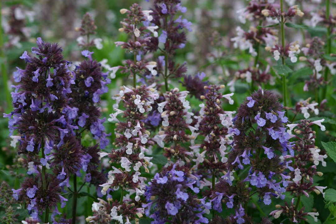 Nepeta Border Ballet - Blue and Whitish Pink flowers