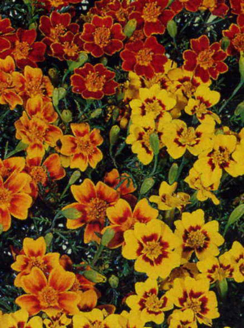 Marigold Starfire Mix - shades of Lemon, Gold and Mahogany