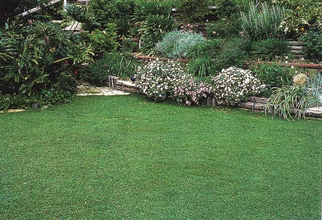 Mercury Bay Grass - Soft and lush bright green ground cover