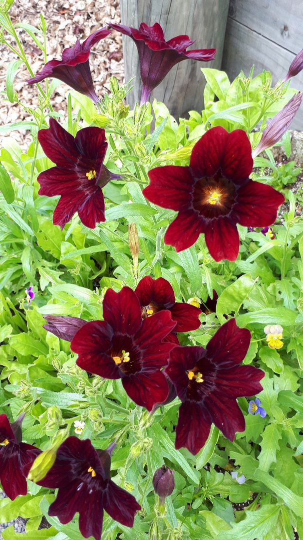 Salpiglossis Chocolate Royale - garden favourite for dark plant lovers