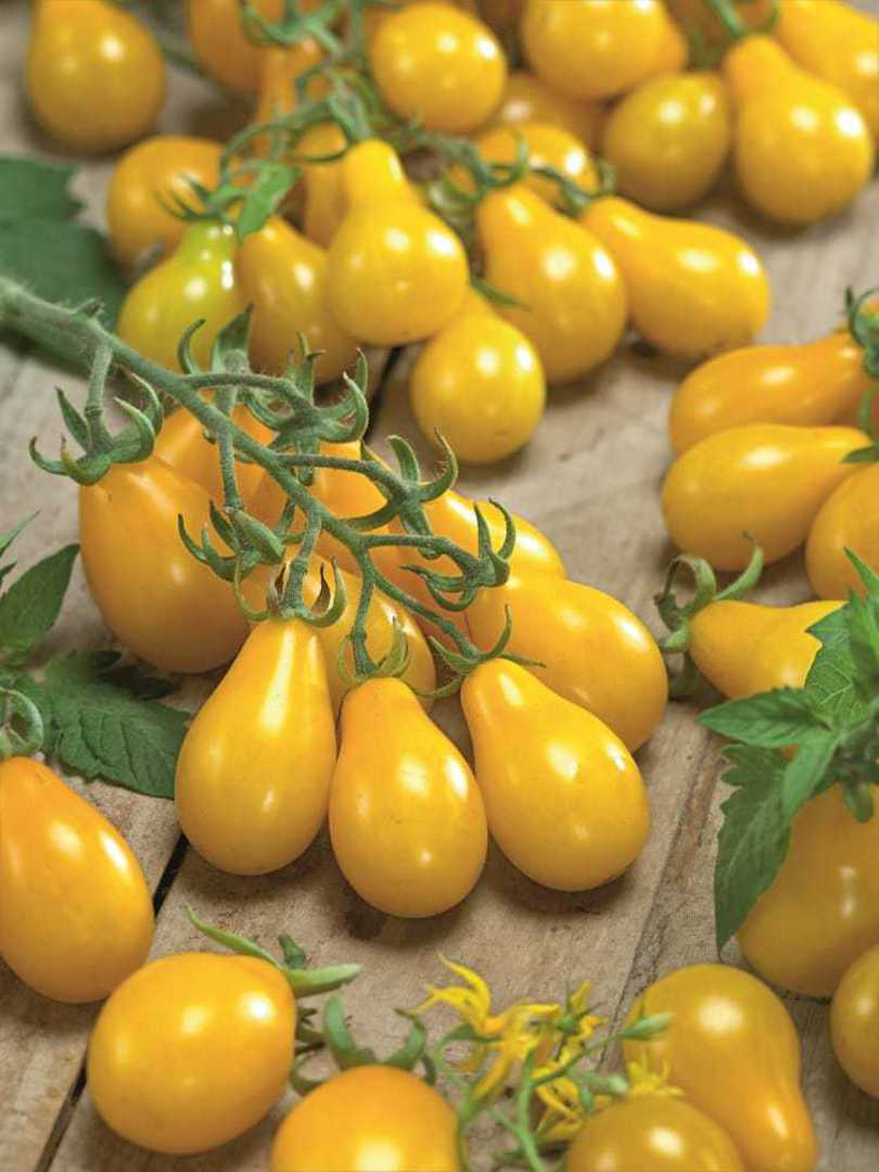 Organic Tomato Yellow Pear - clusters of waxy yellow pear fruit