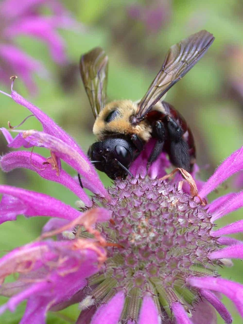 Bergamot Bee Balm - Eye-catching bright lavender blooms