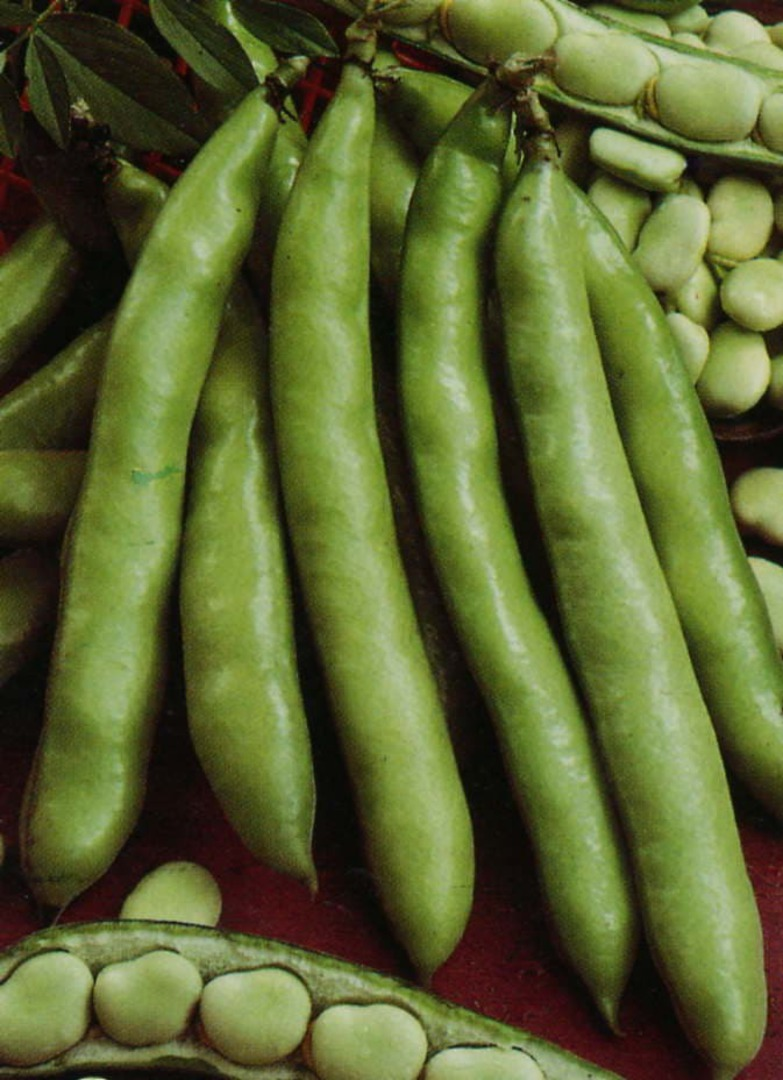Broad Bean Coles Prolific pods surrounded by open pods