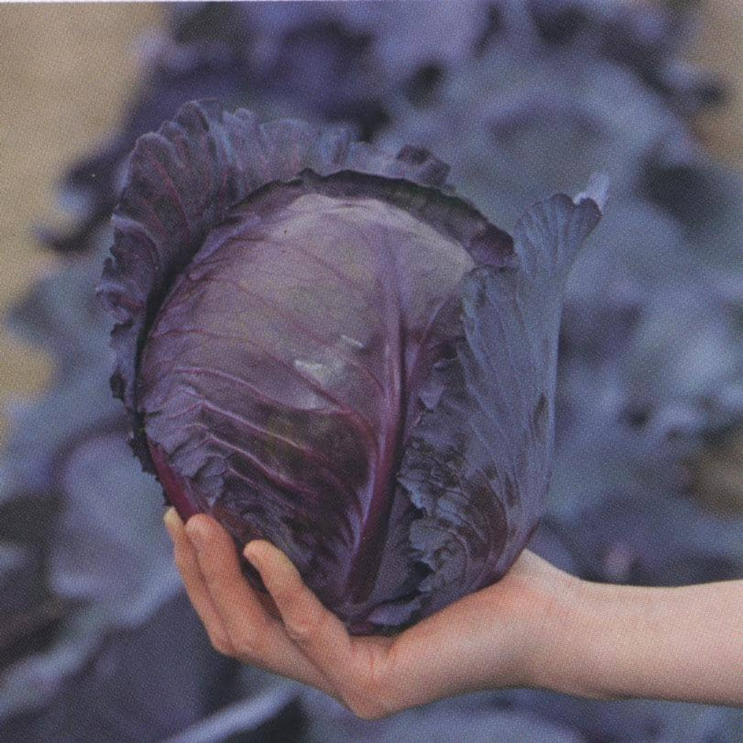 Cabbage Mini Red - Perfect red cabbage in palm of hand