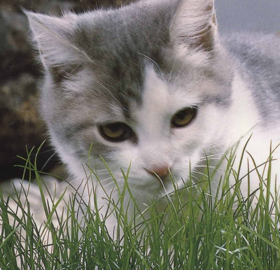 Catgrass - Cat playing in grown catrgrass