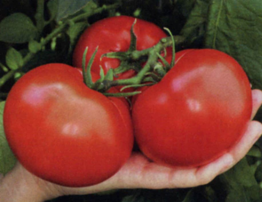 Tomato Thessaloniki - Delicious medium sized red tomato