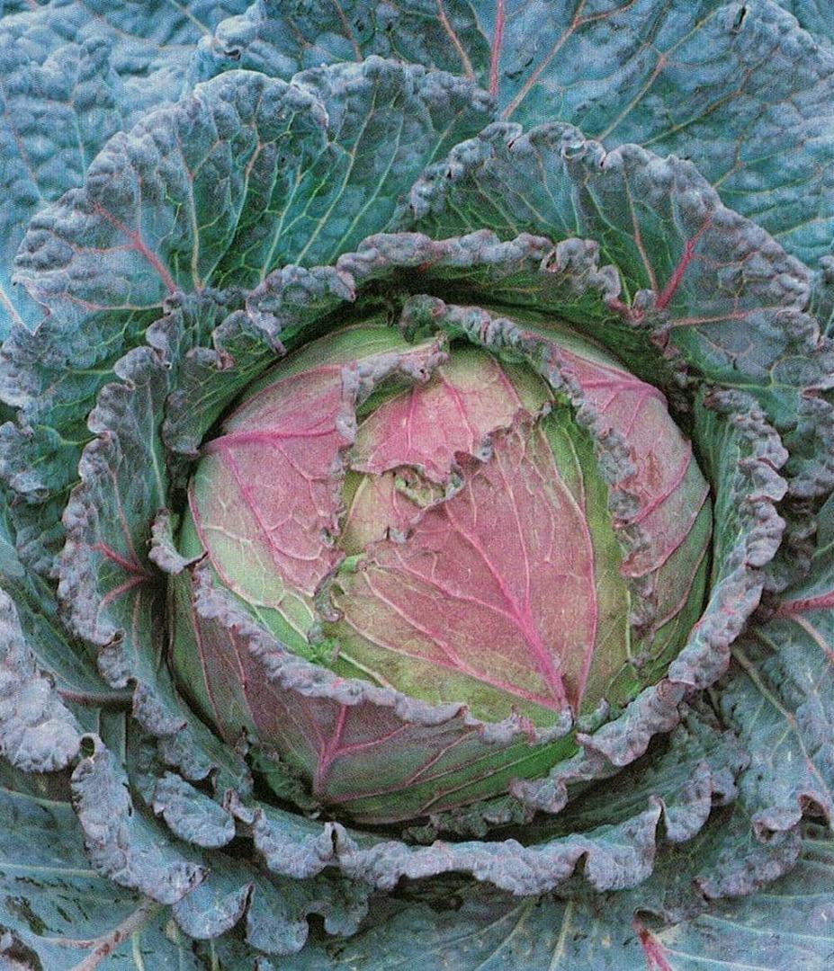 Cabbage Verona Purple Savoy -cabbage with a red purple blush