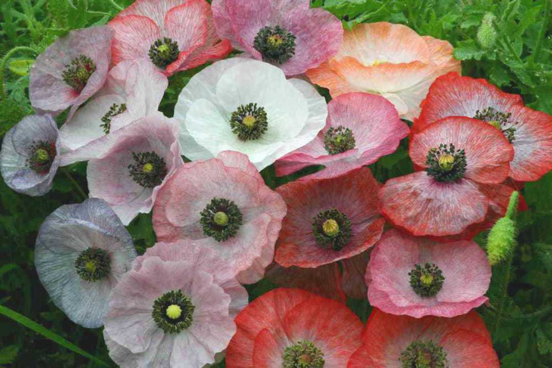 Poppy Mother of Pearl - shades of mauve, pink, soft orange, grey and lilac