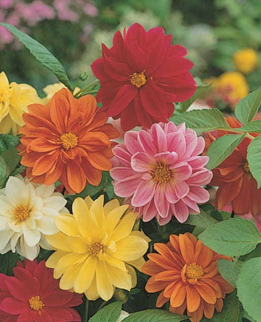 Dahlia Unwins Ideal Bedding Mix - dwarf selection with semi double flowers