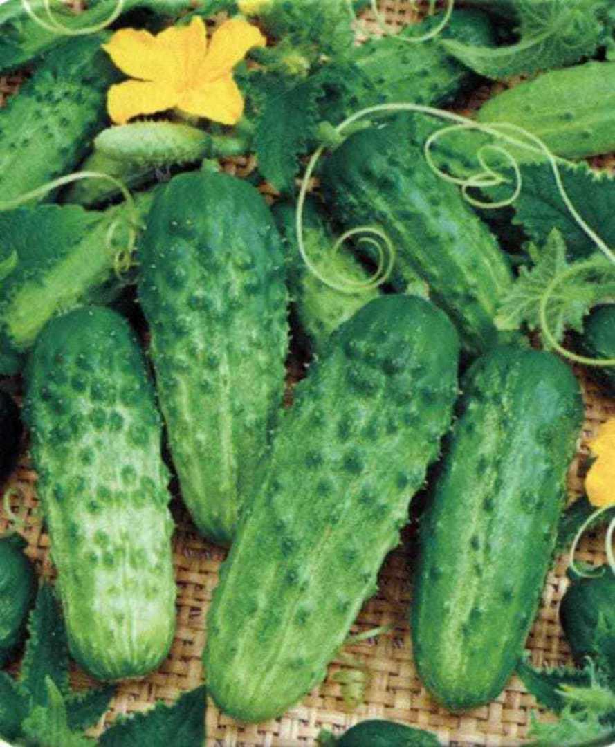 Cucumber Pick A Bushel - Medium green skinned fruit
