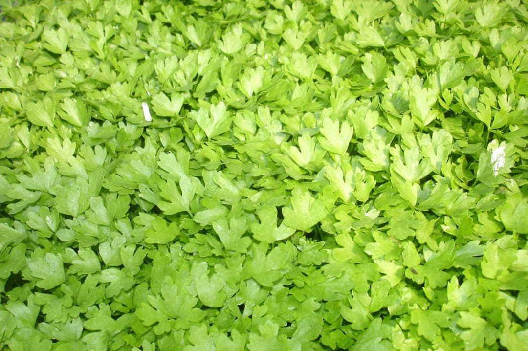 Celery for Cutting Bulk Options image 0