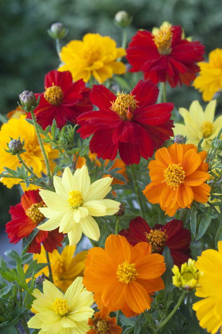 Cosmos Brightness Mix -  bright array of Gold, Lemon, Orange and Red