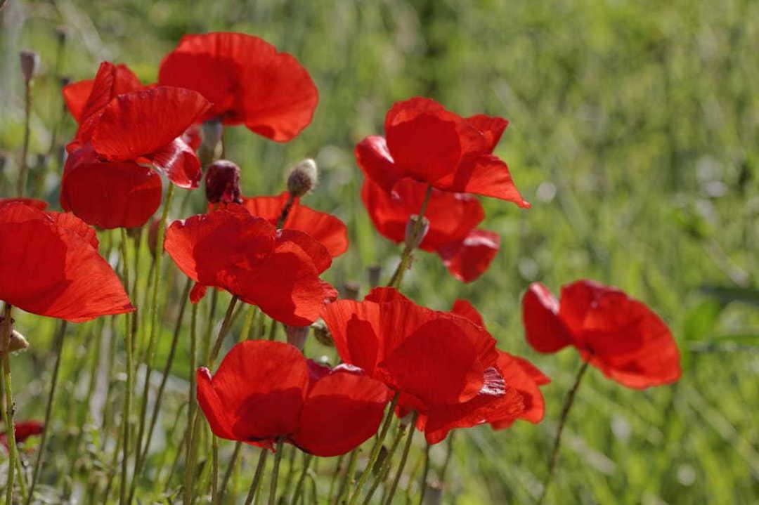 Corn Poppy Flanders Red -  Scarlet Red 7.5cm wide single flowers