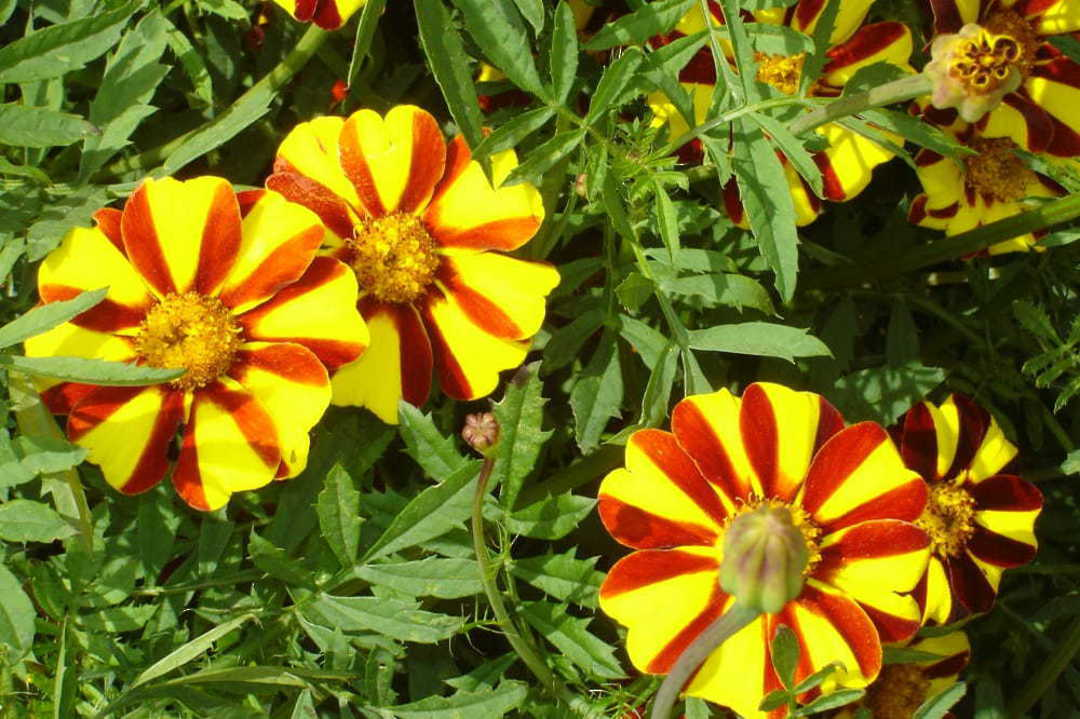Marigold Jolly Jester - Brightly striped single flowers