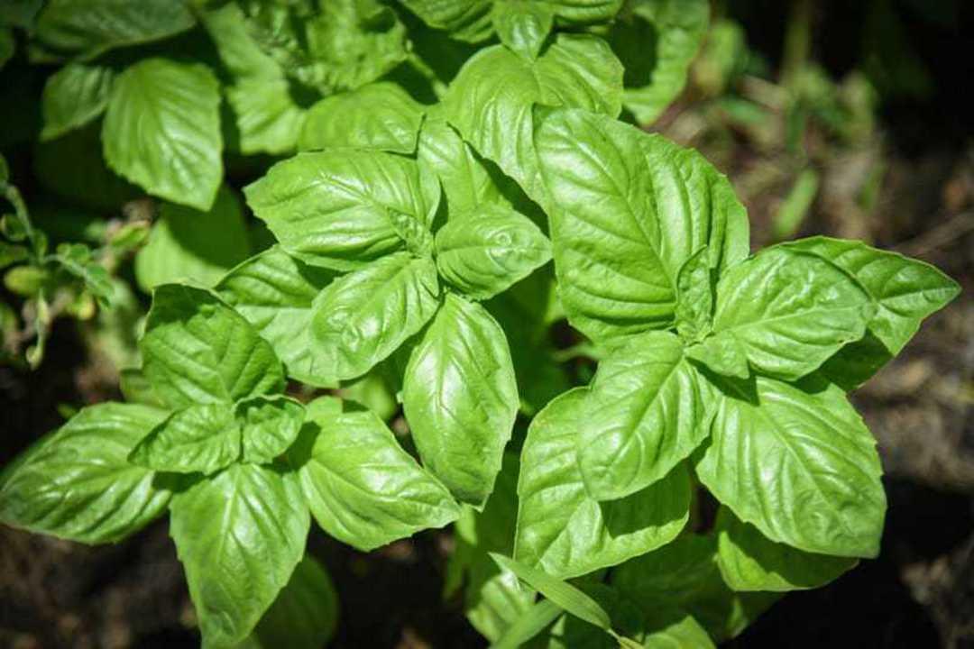 Organic Basil Sweet Genovese image 0