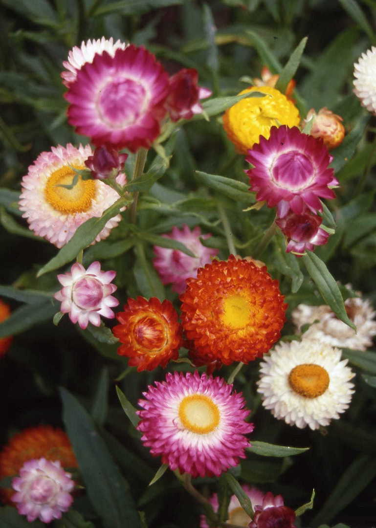 Helichrysum Swiss Giants - extra large double petaled flowers