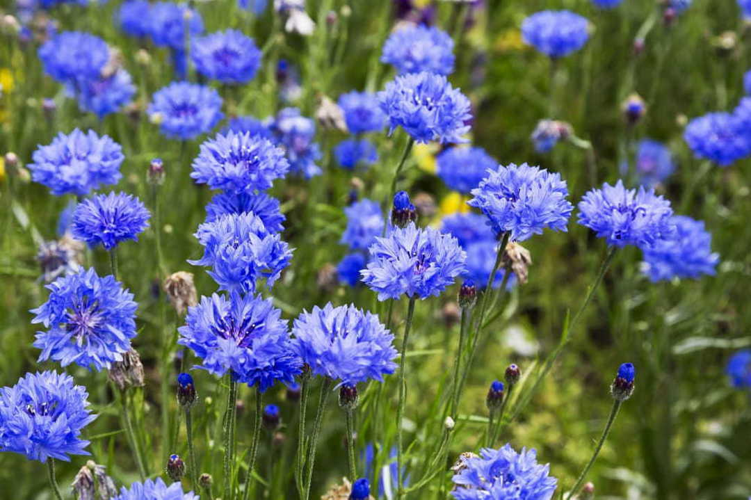 Cornflower Dwarf Blue - Cornflower with double blue flowers