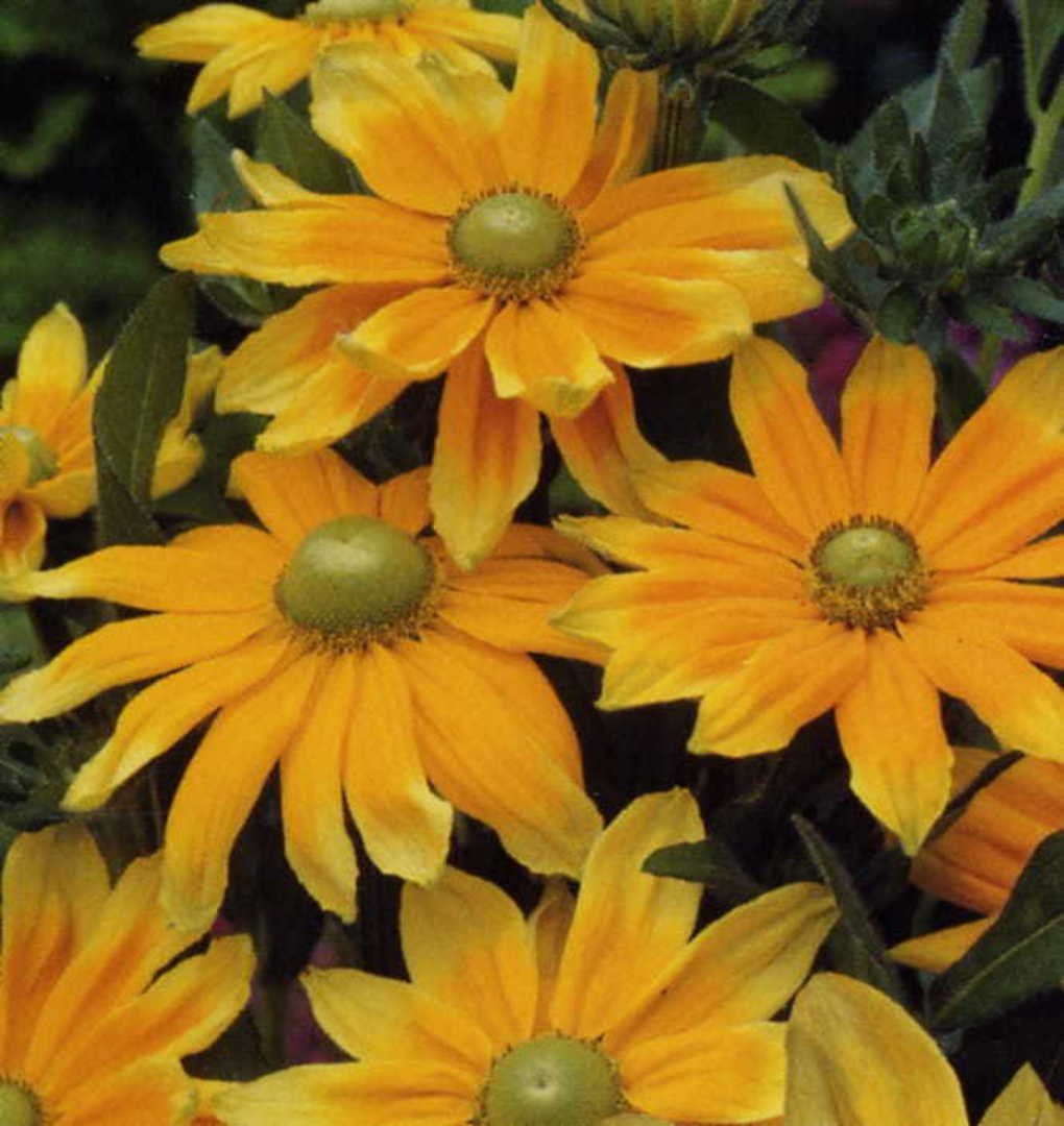 Rudbeckia Prairie Sun - flowers have Lemon tipped Golden petals
