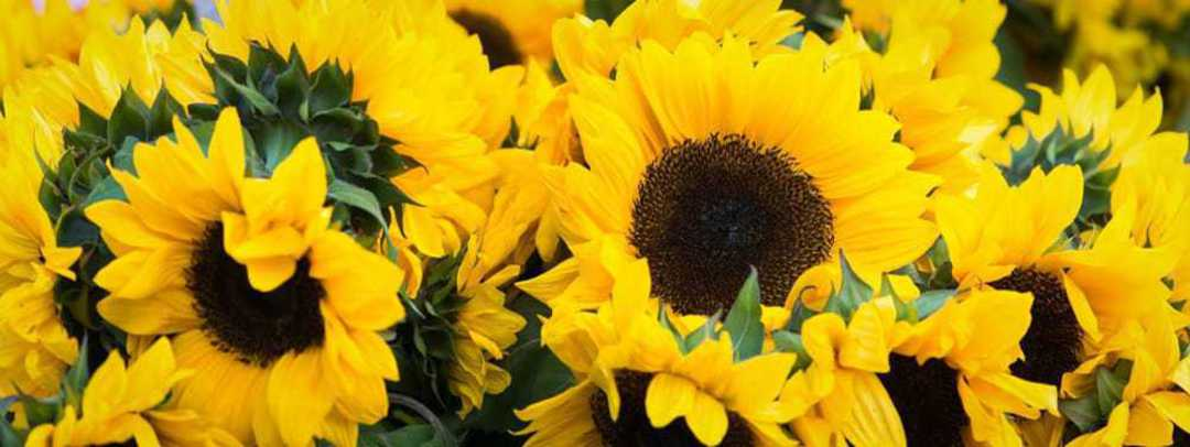 Sunflower Mix n Match - A selection of our best sunflowers