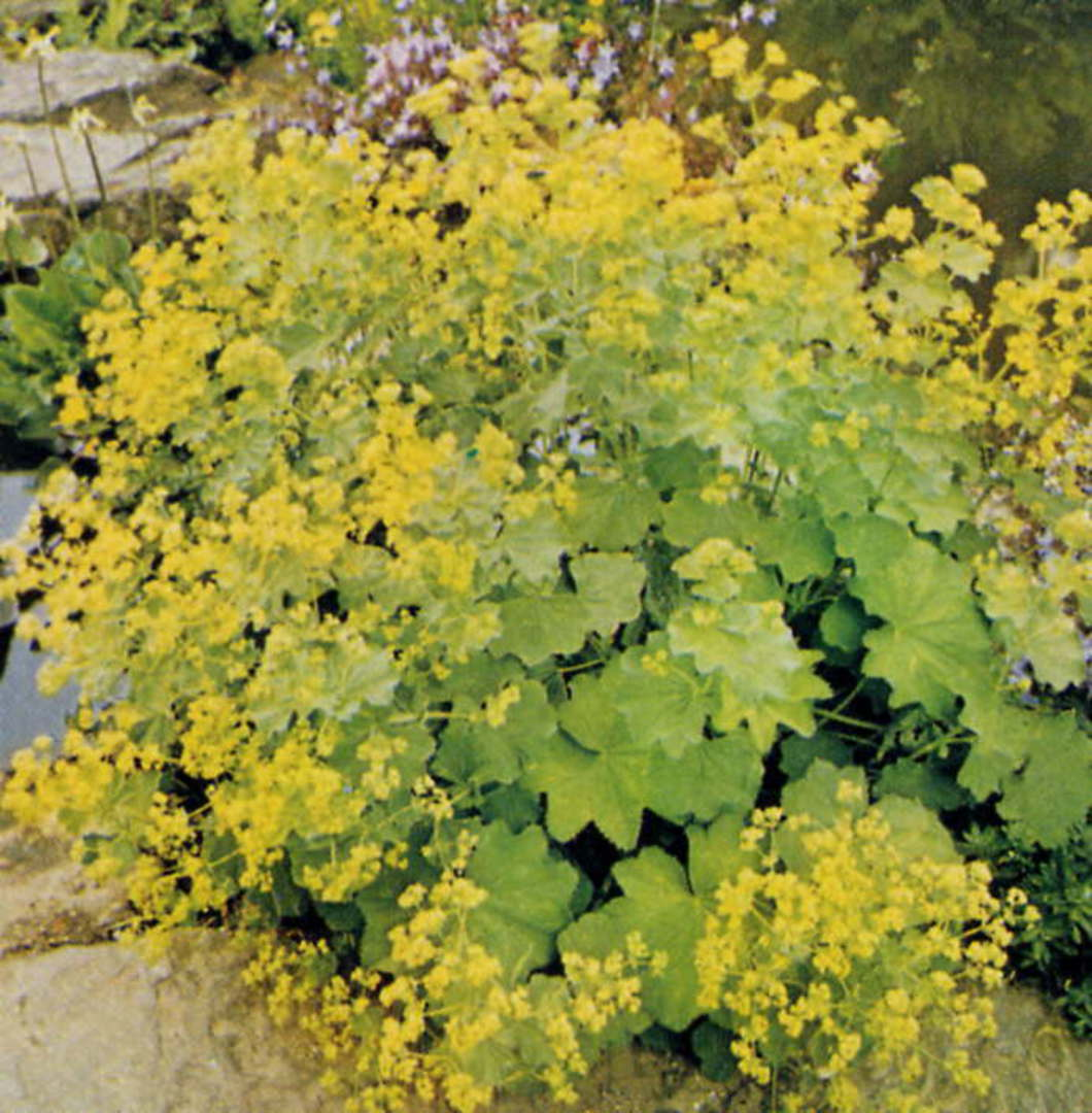 Lady's Mantle - multiple clusters of small yellow flowers