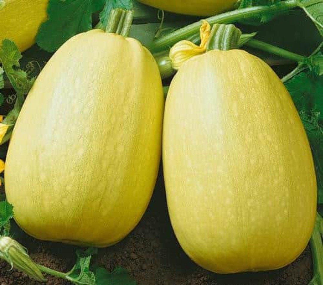 Squash Vermicelli - improved spaghetti squash that matures earlier