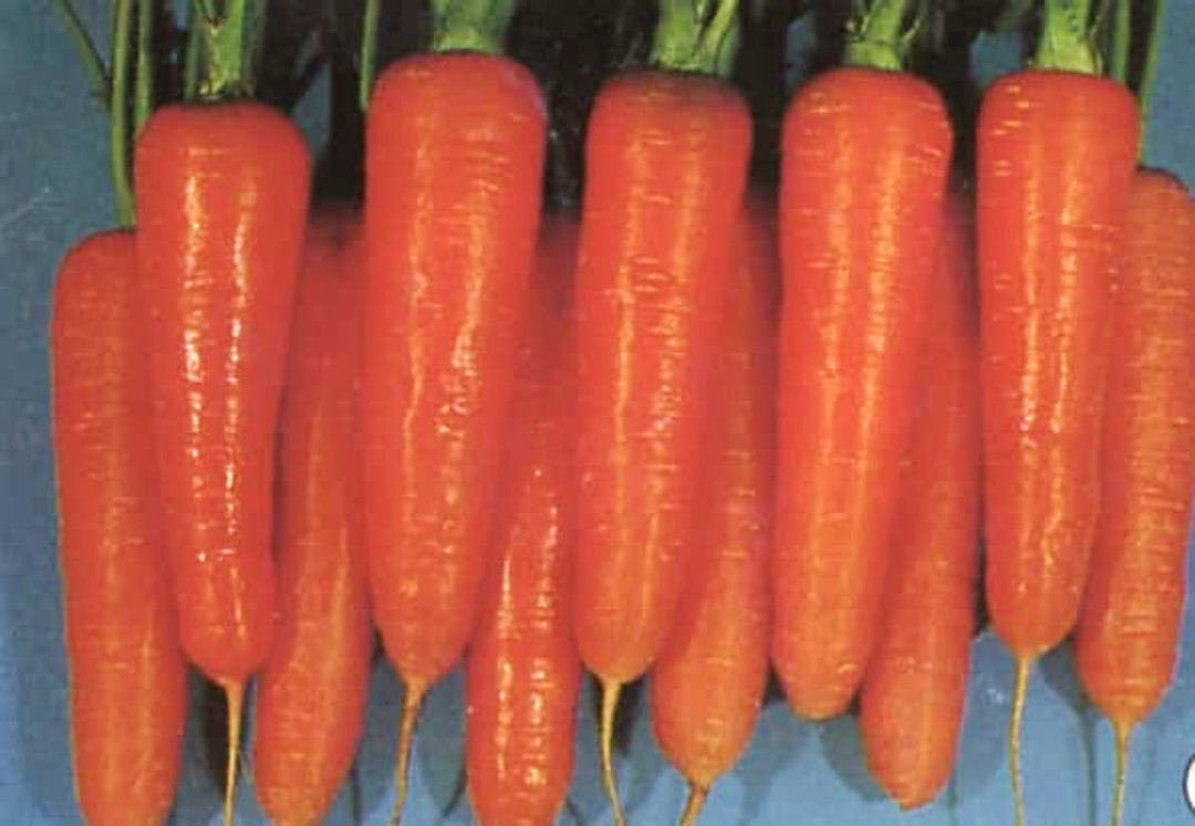 Carrot Kuroda Improved - bright orange carrot with wide shoulders tapering to a blunt point