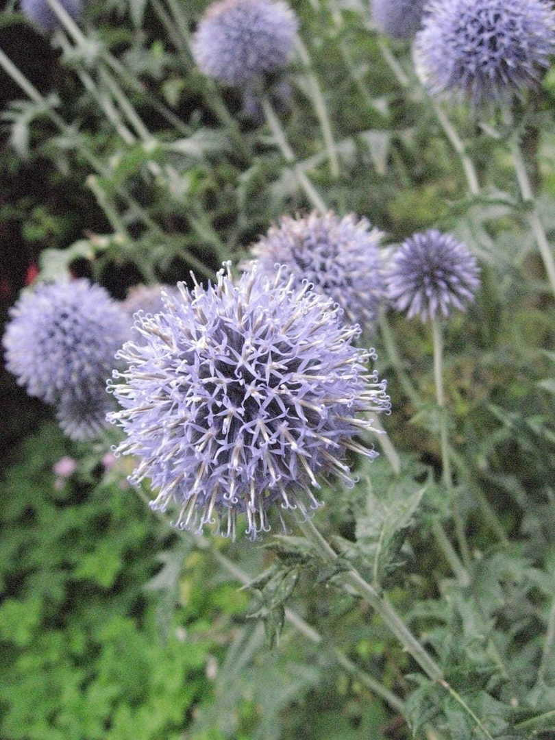 Echinops Arctic Glow - silvery white spherical flower heads