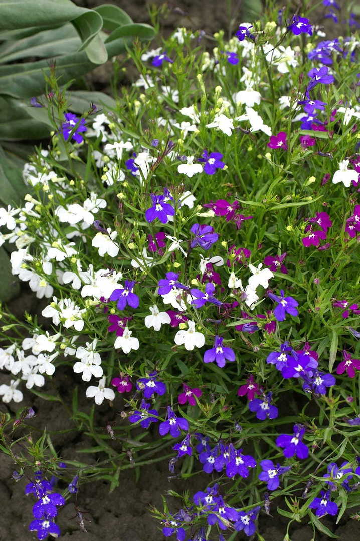 Lobelia Colour Casade mixed - A wide colour range