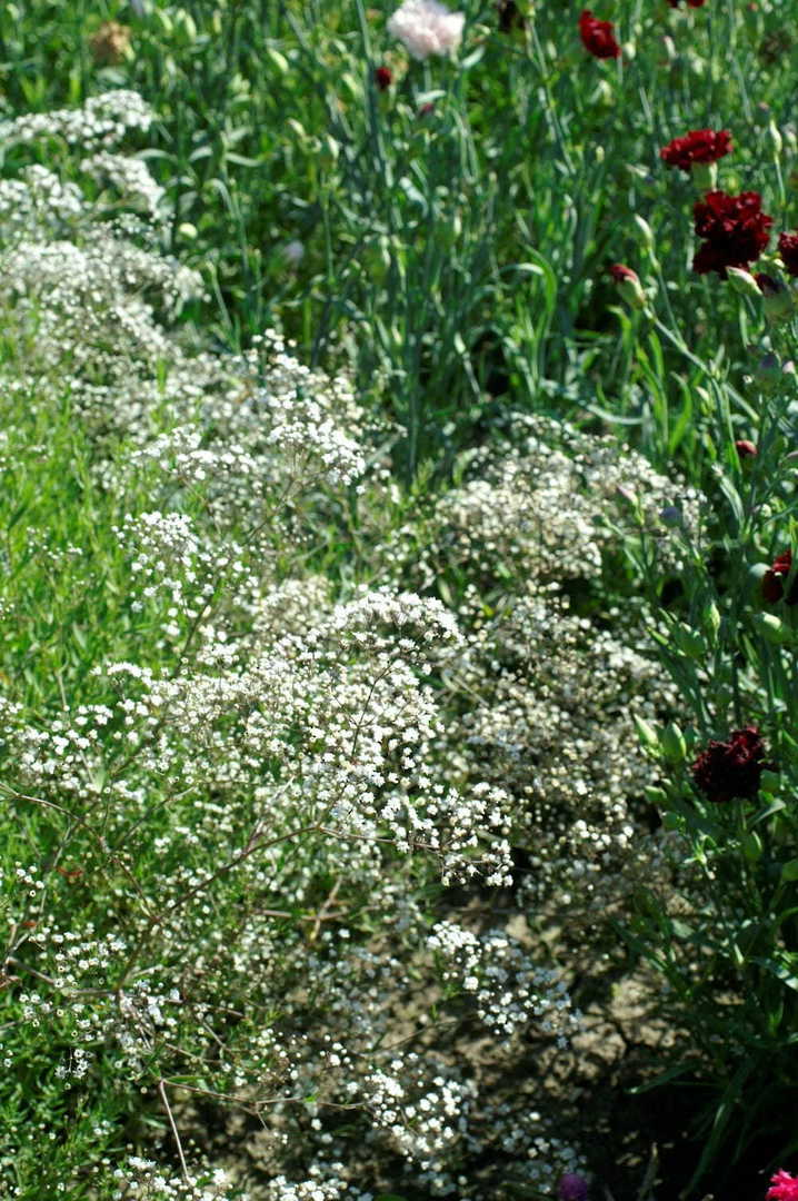 Gypsophila Virgo - stems and myriads of White double blossoms
