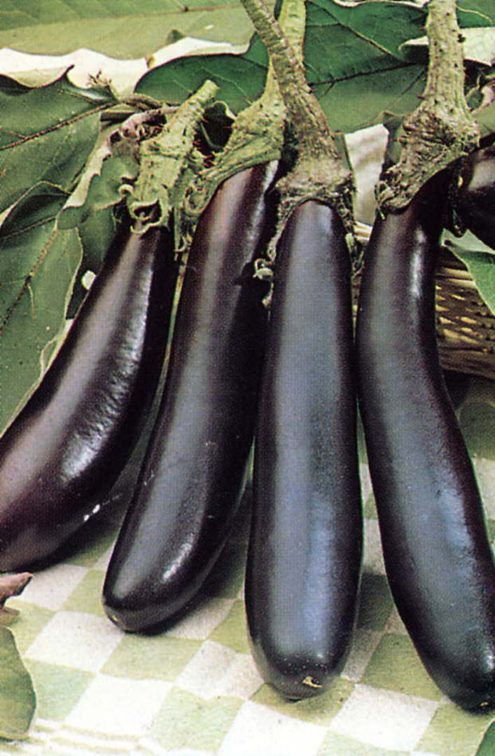 Organic Eggplant Long Purple - cylindrical fruit hanging from plant
