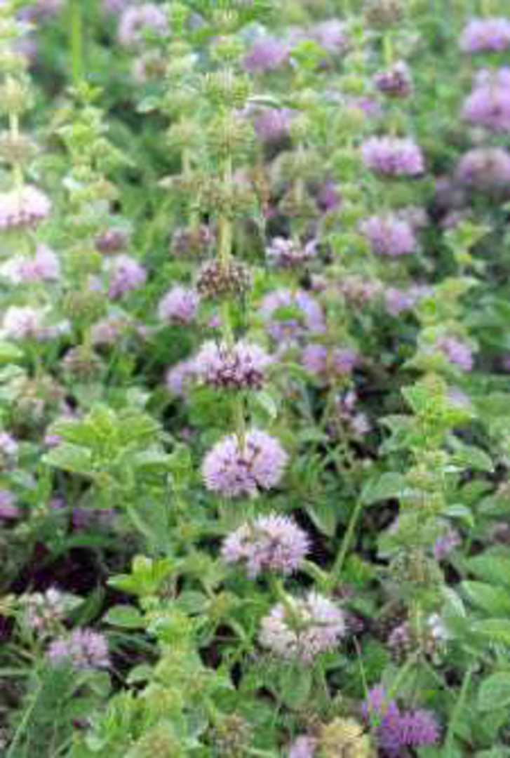 Pennyroyal - small oval obtuse leaves and flowers