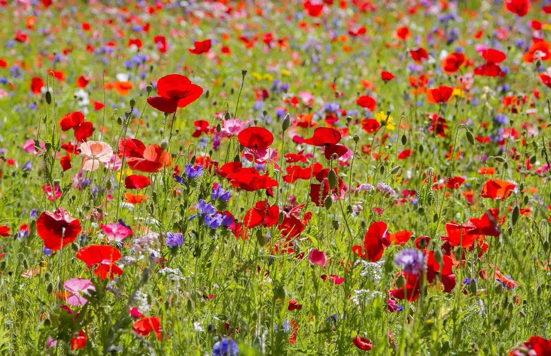 Poppy Fields of Colour - beautiful fields of poppy flowers