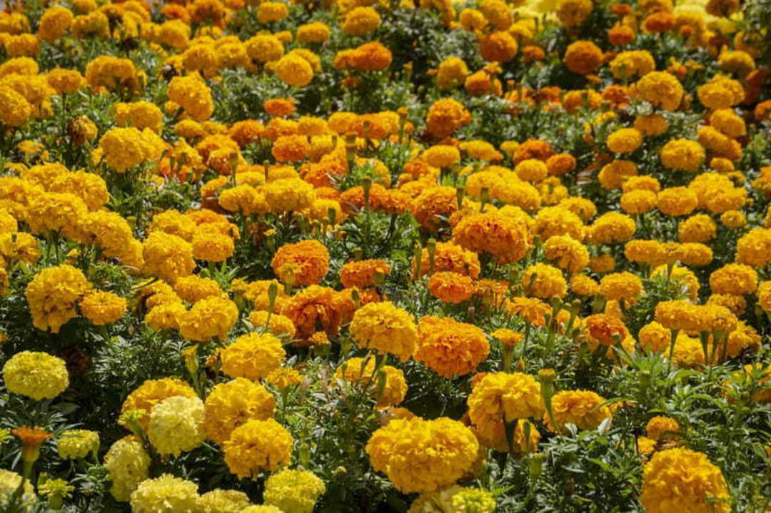 Marigold Citrus Bedding Mix -dwarf strain great for bedding