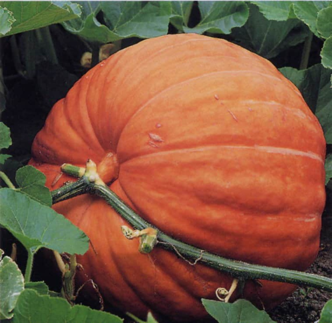Pumpkin Atlantic Giant - smooth orange shell with orange flesh