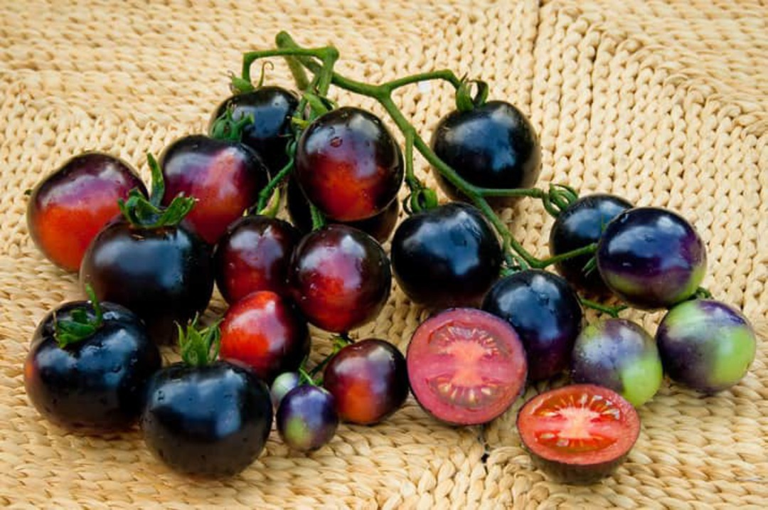 Tomato Indigo Rose - one of the darkest tomatoes bred