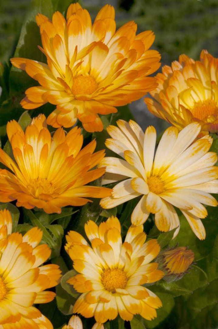 Calendula Oopsy Daisy - daisy-like flowers in soft shades