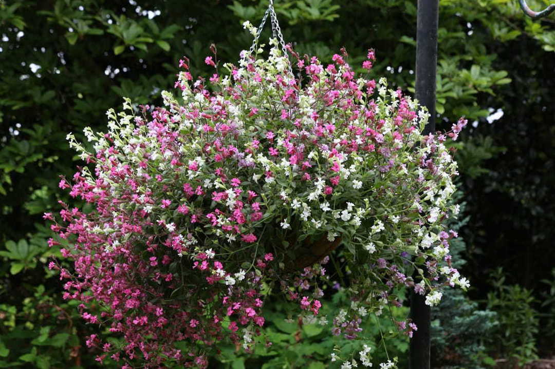 Silene Sibella Mix - double flowers of either Carmine, Lilac or White